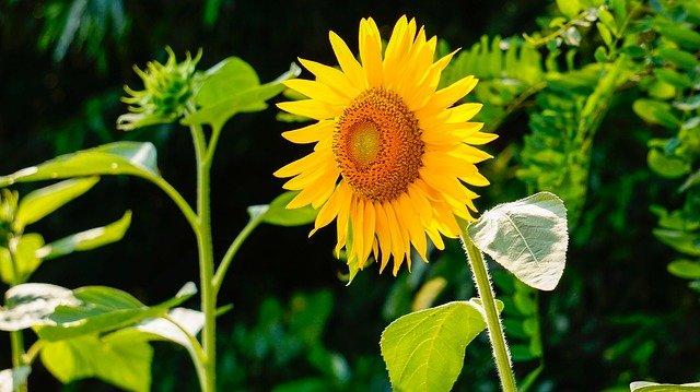 rozkvetlá slunečnice