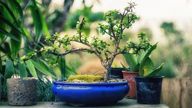 tvarování bonsaie